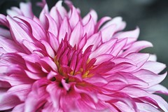dahlia, flower, macro photography, flora, close-up, chrysanths, pink, petal,