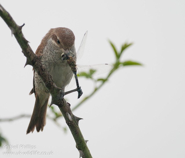 red backed shrike eating migrant hawker-2