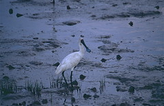 Black-billed Spoonbill (Platalea regia)