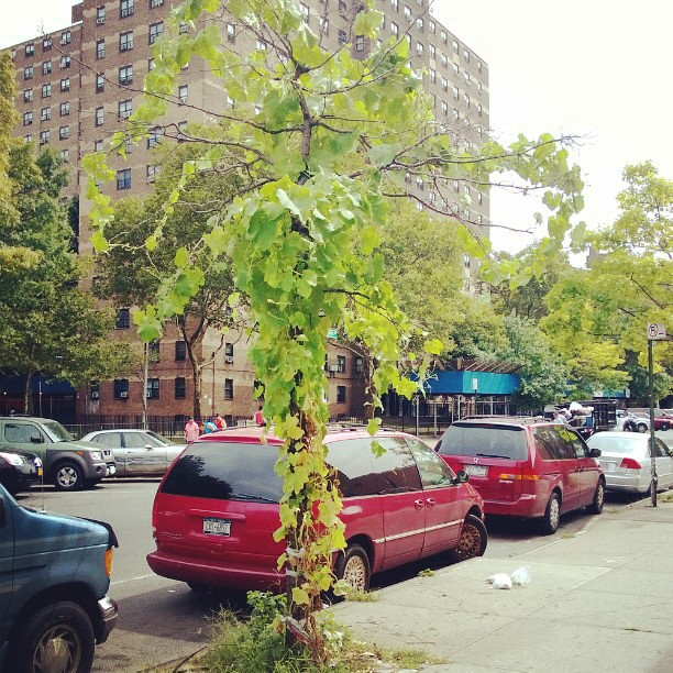 A zucchini plant that took over a tree on a Brooklyn sidewalk!