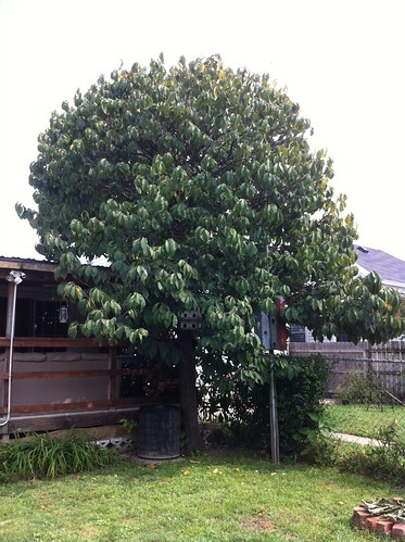 pawpaw tree
