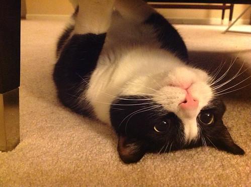 Tuxedo Cat 22