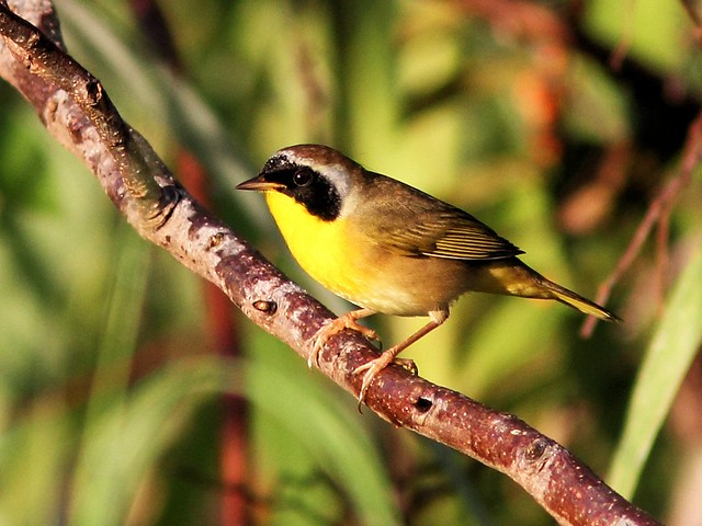 Common Yellowthroat male 20131009