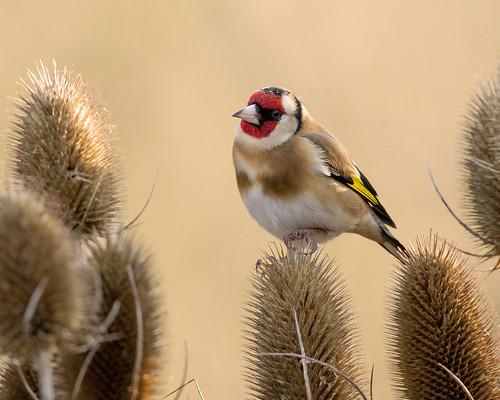 Goldfinch-4