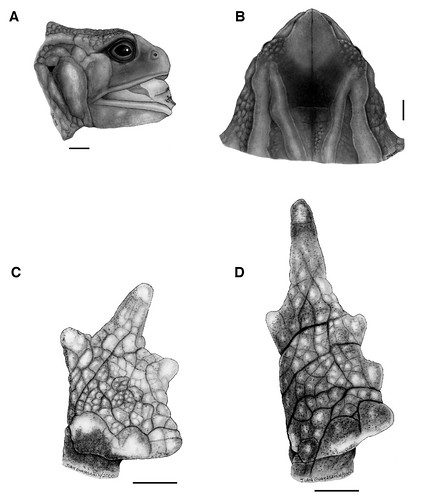 <i>Osornophryne puruanta</i> Osornosapo gigante de Puruanta ♀