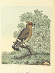 "British Library digitised image from page 84 of ""British Ornithology; being the history, with a coloured representation of every known species of British birds"""