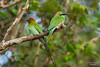 Little Green Bee-eater (Punchi Biguharaya) by SameeraMJ