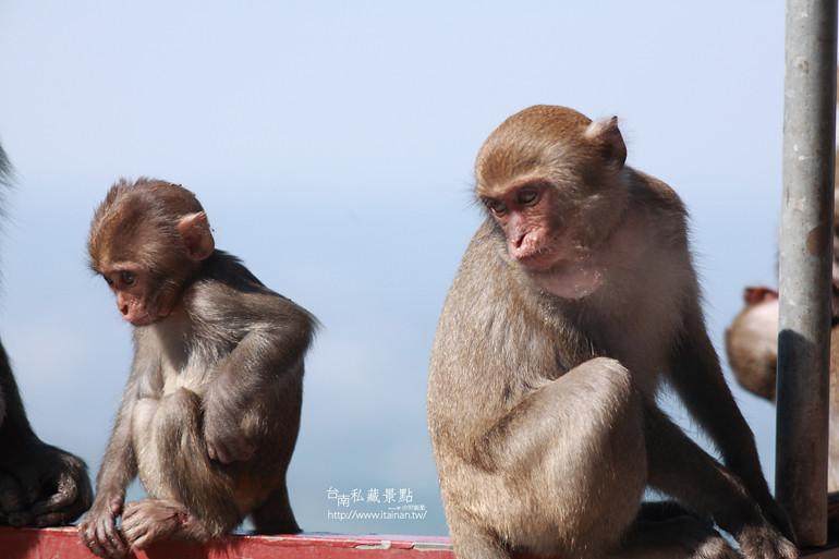 台南私藏景點-南化烏山獼猴 (12)