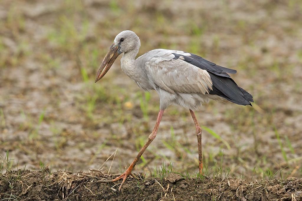 Open Billed Stork 2013-11-28