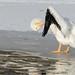 Pelican Preening_42206.jpg