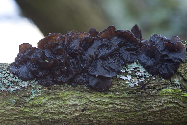 38: Witches' Butter - Exidia glandulosa