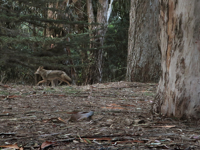 Coyote in Golden Gate Park, San Francisco (2014)