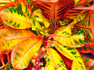 Colorful leaves of Crotone
