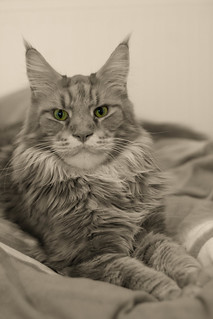 Maine Coon Colour Key