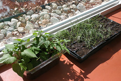 seedlings 133