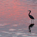 Blue Heron - Pink Water by tclaud2002