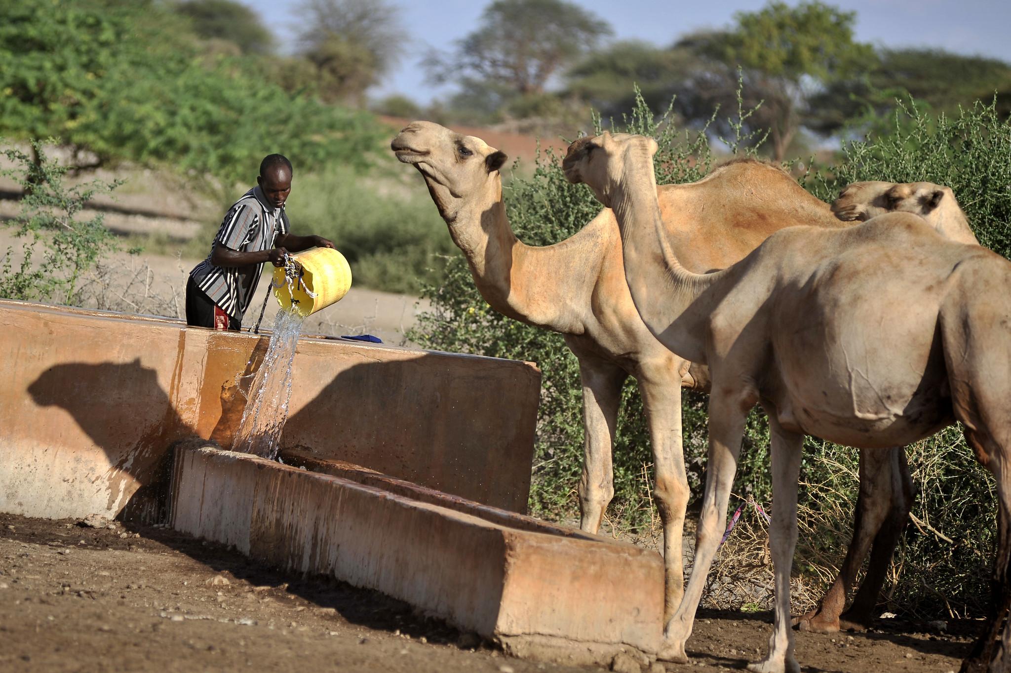 Watering camels near Wajir, northern Kenya