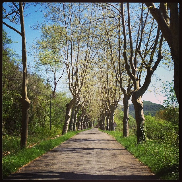 Pollarded plane trees #france #walk
