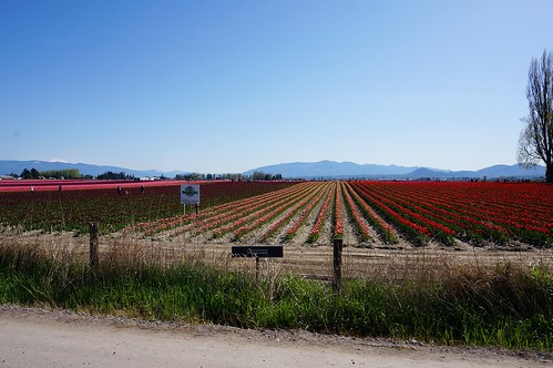 tulip field from the road