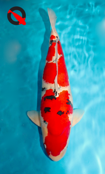 Mature Champion European Shinkokai Koi Show 2014