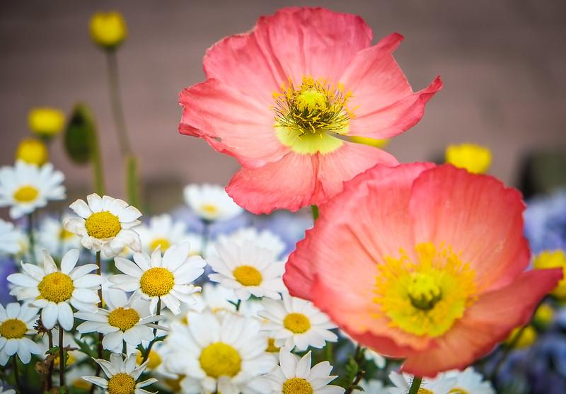 Spring Flowers in Seoul
