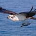 Balbuzard pêcheur / Osprey by rejeanjdeschenes