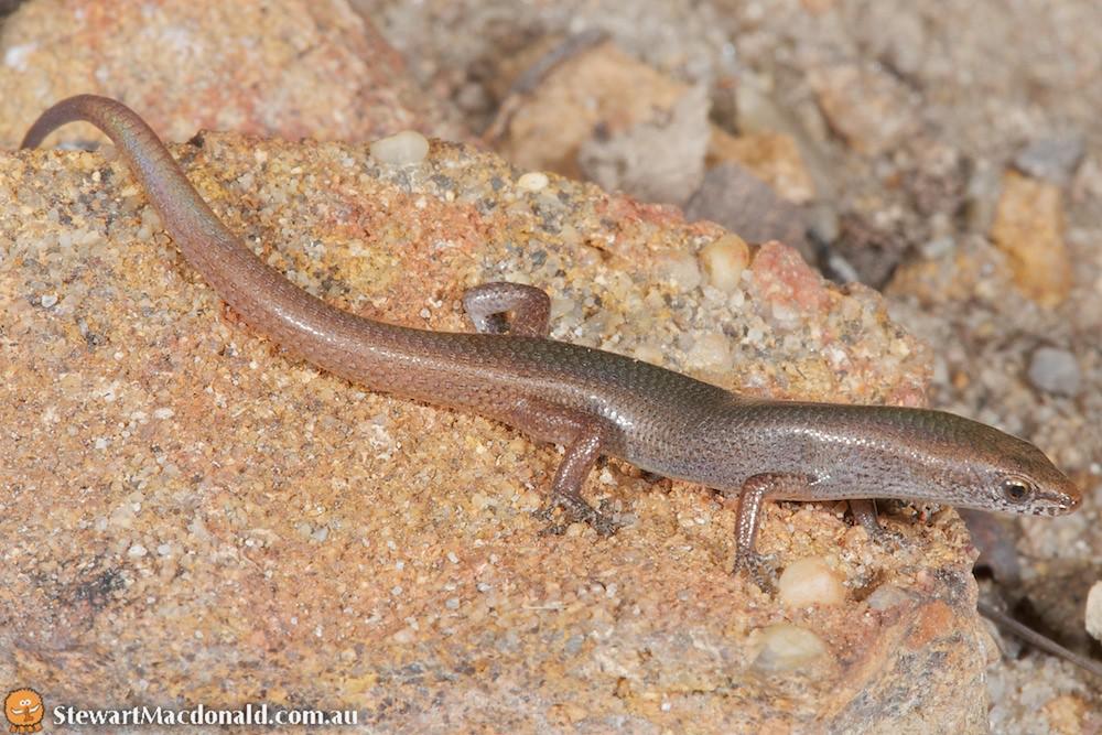 Red-tailed litter-skink (Lygisaurus malleolus)