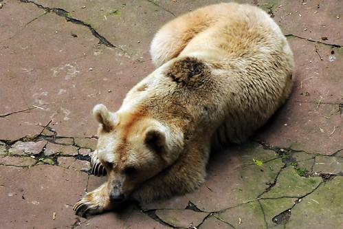 動物園裡的棕熊,圖片由Joachim S. Müller提供