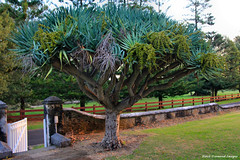 Dracaena draco - Dragon Tree at No.9 Quality Row, Kingston, Norfolk Island