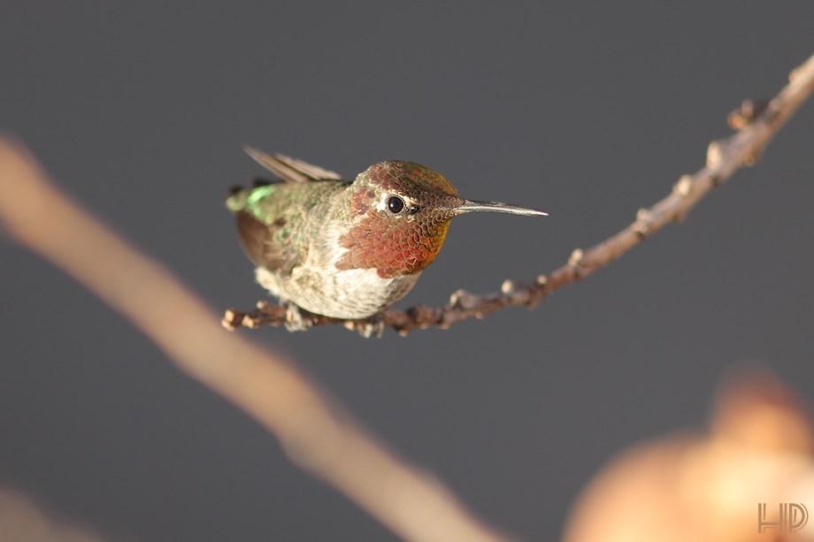 Anna's Hummingbird 072313-2