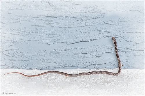 Image of snake processed with Topaz Clarity and Nik Viveza 2