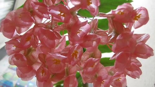 Tamaya (begoniaceae)
