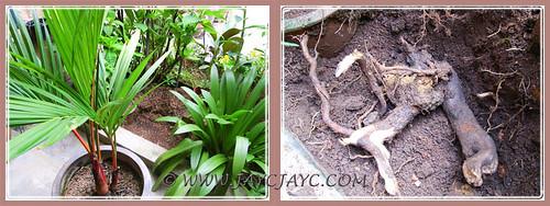 Preparing site to replant the Cheilocostus speciosus (Crepe Ginger) - Oct 6 2013