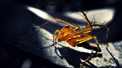 Lynx Spider in evening light