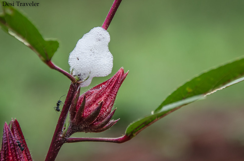 Ant examining spittle bug near red flower bud
