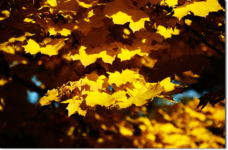 Noway maple in Fall, Chautauqua, Boulder 2