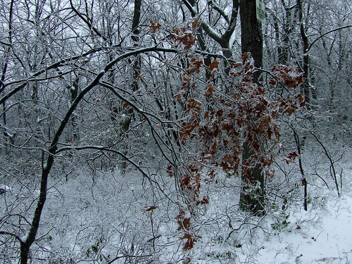 marcescent red oak leaves under ice 1