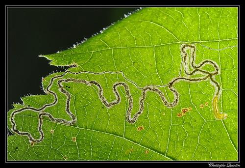 Mine et larve de Stigmella microtheriella sur Corylus avellana