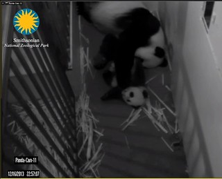 Giant Panda Cam - National Zoo.clipular3
