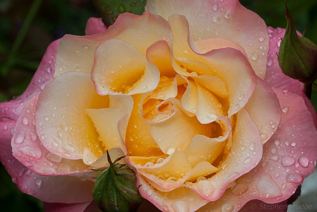 Roses after rain #2