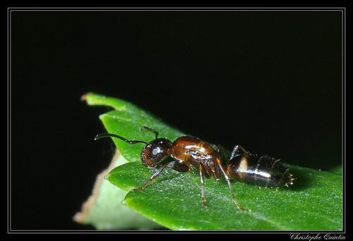 Camponotus truncatus