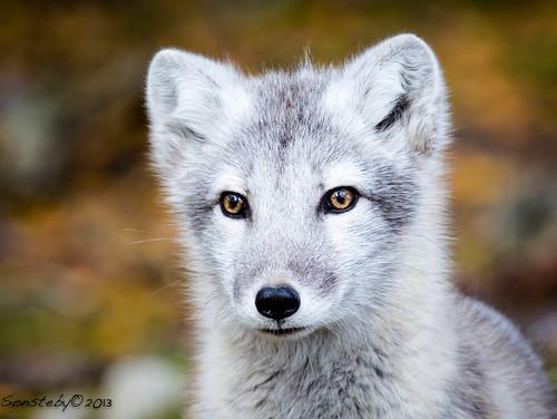 Arctic fox puppy