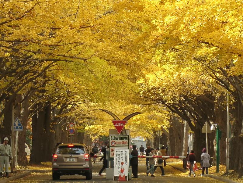 北海道與東京的銀杏