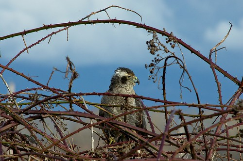 Northern Goshawk Perched in a Blackberry Bramble
