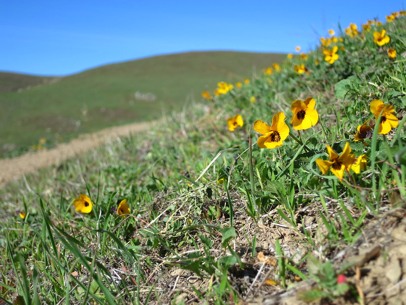 California Golden Violets on a windy hillside in the Ohlone Regional Wilderness.