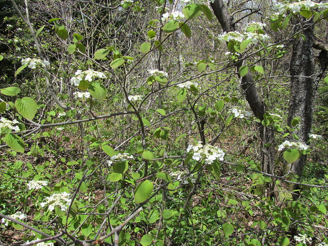 Viburnums in bloom
