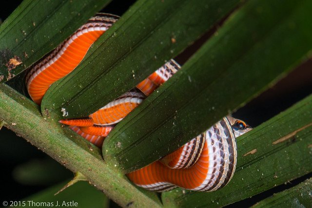 Striped kukri snake (Oligodon octolineatus)