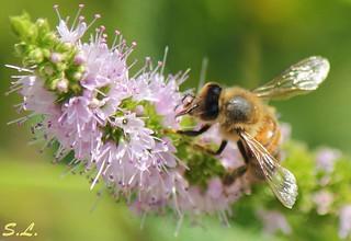 Menthe butinée par une abeille