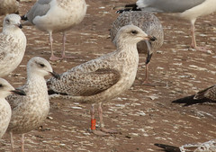 Goéland argenté - Larus argentatus - Herring Gull - 2:CXL