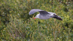 Heermann's Gull _MG_6263